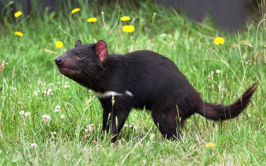 Tasmanian Devils reintroduced in mainland Australia