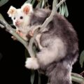 Aussie scientists discover two new marsupial species