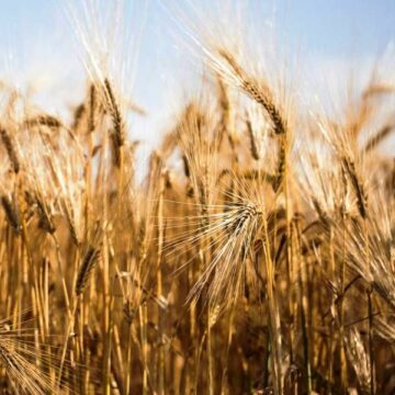 Australia launches WTO appeal against China's barley tariff