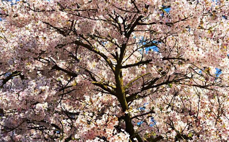 Japan records earliest cherry blossom bloom in 1,200 years